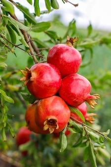 庭の木の枝にぶら下がっている秋の果物。