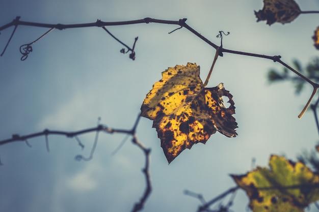 Autumn grape vine leaf