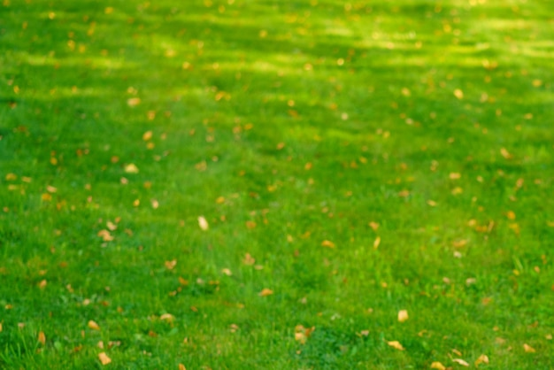 Autumn grass with fallen yellow leaves in sunset light autumn leaves on green grass in sunlight fall...