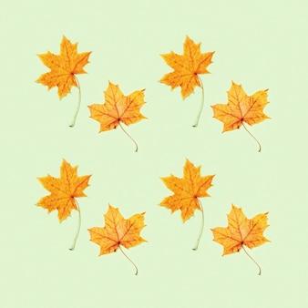 Осенняя открытка с красивыми желтыми осенними листьями клена на бумаге светло-зеленого цвета. минималистичный стиль