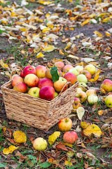 Autumn harvest of apples in the garden. ripe apples in a wicker basket. vertical frame