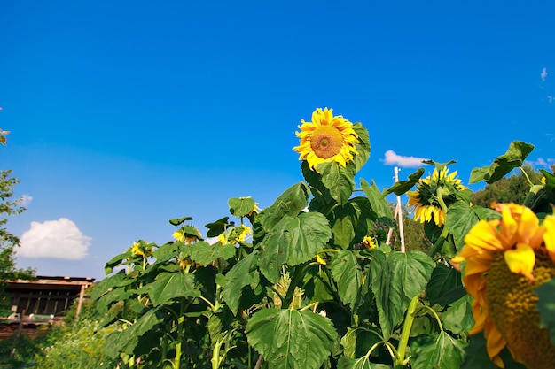 Autumn harvest: bright sunflower against the blue sky. summer flower bloomedautumn harvest: bright sunflower against the blue sky. the summer flower bloomed. seeds for oil production