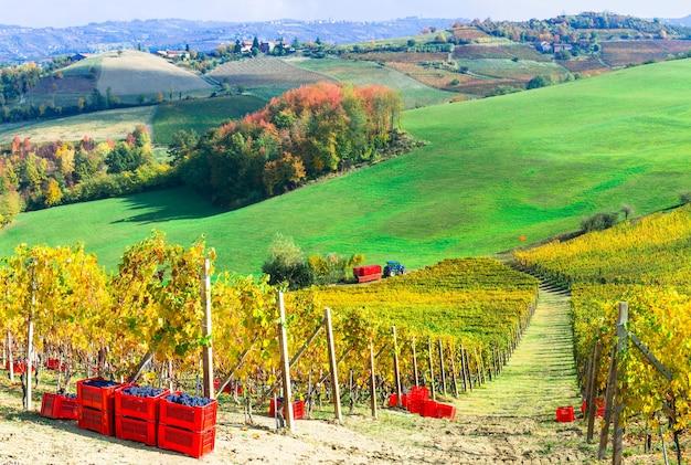 イタリアの有名なワイン産地、ピエモンテの秋の収穫、黄金のブドウ園、ブドウ