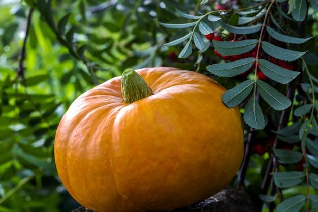 Autumn harvest pumpkin with rowan berries outdoors.
