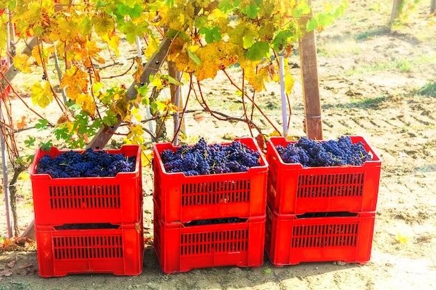 秋の収穫、赤いバスケットの熟したブドウ。イタリアの有名なワイン産地、トスカーナ