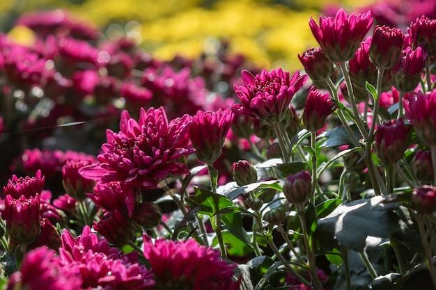 가을이 오고, 들판에 분홍, 보라색 국화가 만발