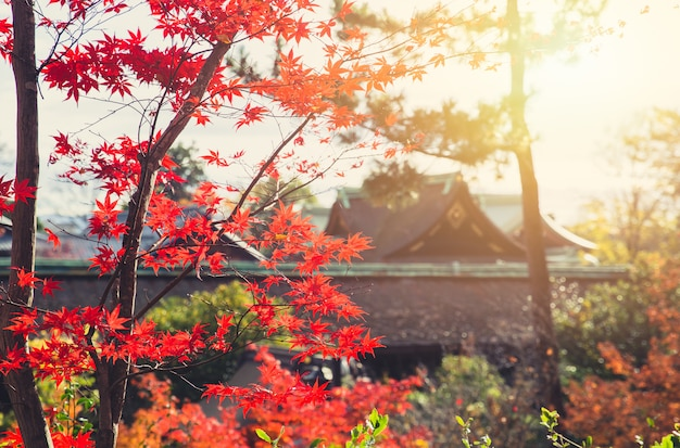 Autumn japan red maple nature with blur temple background.