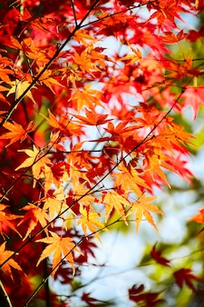 Autumn japanese maple leaves background.
