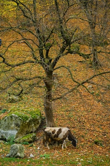 Autumn landscape cow graze in the forest
