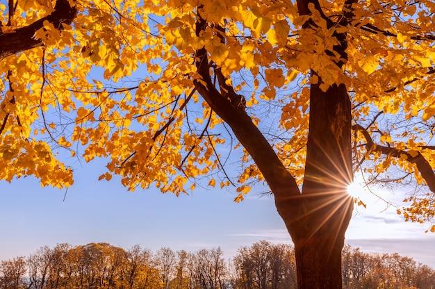 Осенний пейзаж, низкое солнце с лучами и осеннее дерево.