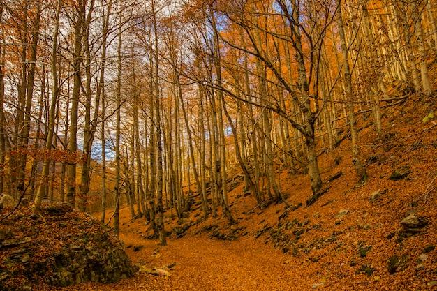 背の高い木と美しい森の秋の風景