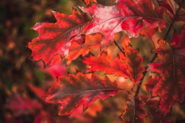 Осенний пейзаж красные осенние дубовые листья в молодом лесу рано утром на рассвете. концепция сезона опавших листьев