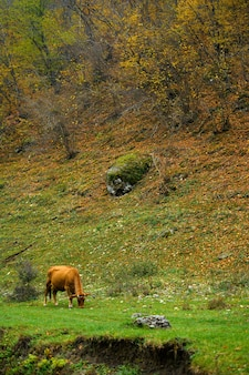 Autumn landscape red cow graze in the forest