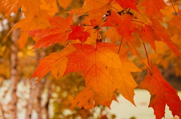 秋の風景。赤いカエデの葉が木に