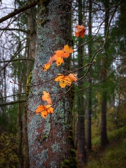 秋の風景。最後のカエデの葉は秋の森にあります。垂直方向のビュー。