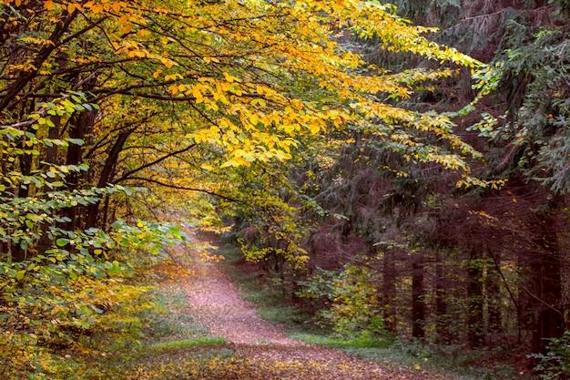 森の中の色とりどりの木々と秋の風景。秋の森の木々の間の道