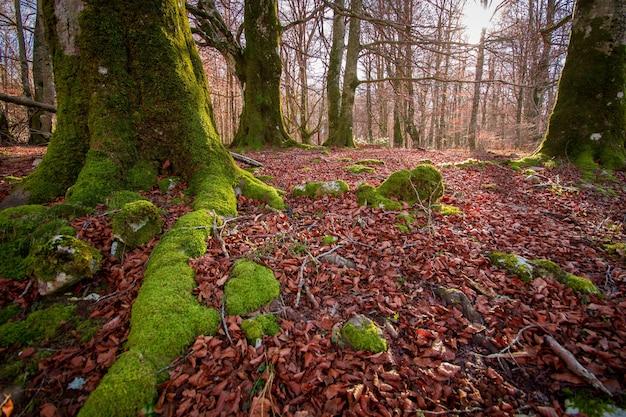 スペイン、イラティジャングルのブナの木で覆われた森の暖かい色の秋の風景