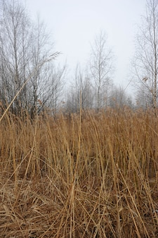 Autumn landscape with yellow cane and fog