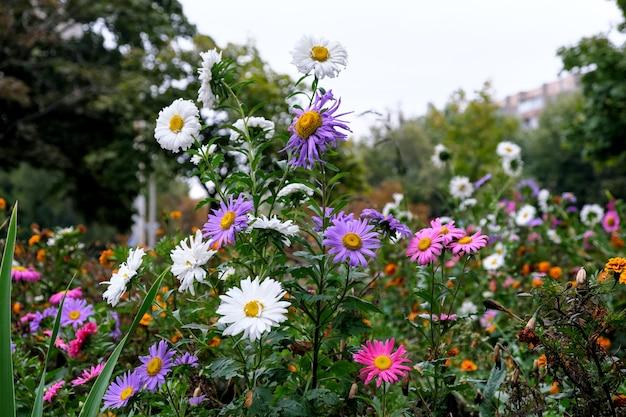 Осенние поздние цветы на городской клумбе после осеннего дождя в пасмурную погоду