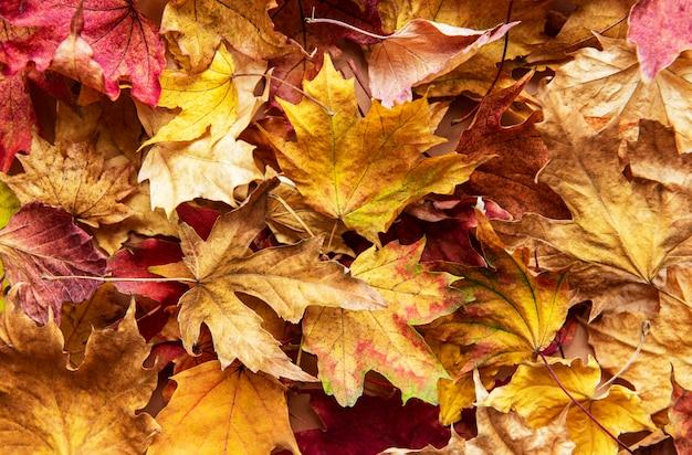 紅葉。乾燥したカエデの葉。