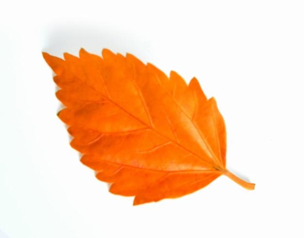 가 잎 흰색 배경에 고립
