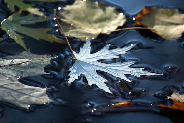 가을 잎은 웅덩이에 놓여 있습니다.