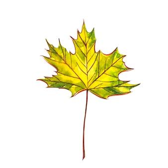 秋の葉-ノルウェーメープル。秋のカエデの葉が分離されました。水彩イラスト。
