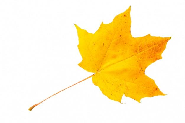 Осенний лист клена на белом фоне