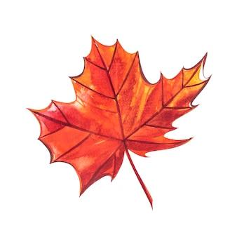 Осенний лист - сахарный клен. осенний кленовый лист изолированы. акварельные иллюстрации