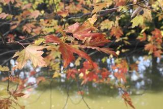 Autumn leafs, bspo07