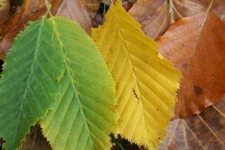 Autumn leafs, green