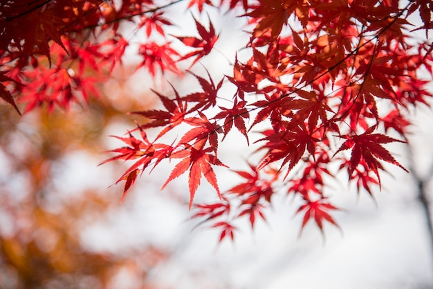 Autumn leafs of japanese maple in sunshine day.
