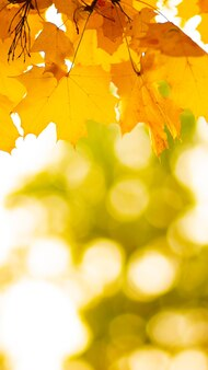 Autumn leaves. abstract autumn nature background with maple tree leaves. fall background