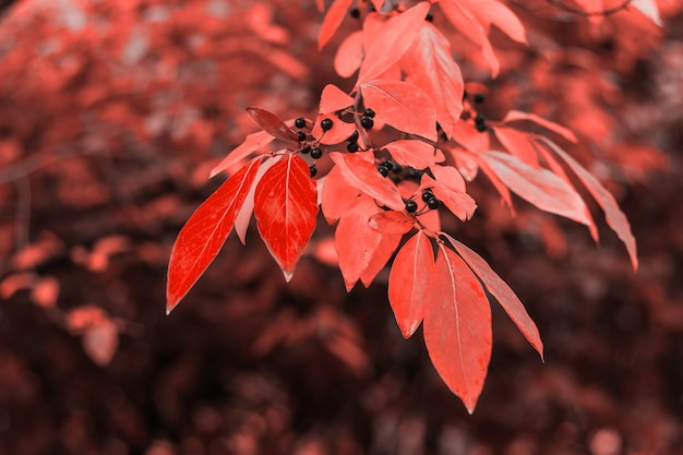 Autumn leaves abstract background toned in living coral color of the 2019 year
