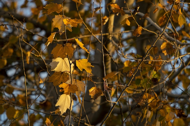 Autumn leaves on the branches of trees
