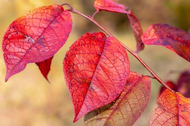 Осенние листья крупным планом. красные большие листья на желтом фоне.