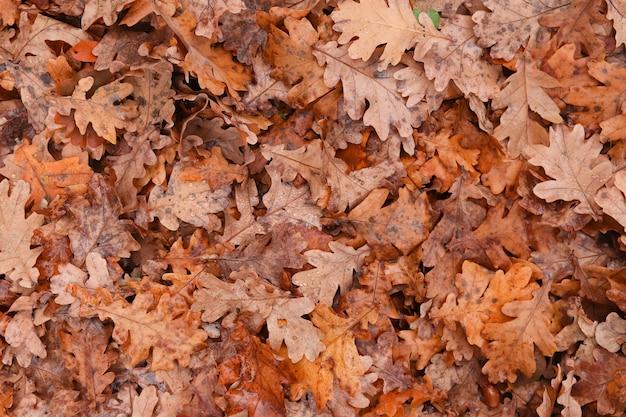 Осенние листья падают с дуба из капельниц. осенний естественный фон
