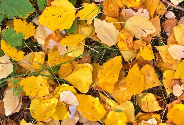 단풍. 땅에 떨어진 자작나무 잎 - 배경으로