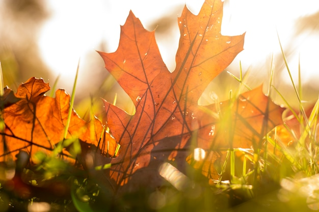 Autumn leaves in the grass,autumn leaves falling