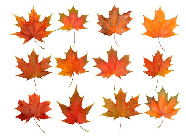 紅葉は、空白の白い背景の上の秋の背景の赤と黄色のカエデの葉を分離します。
