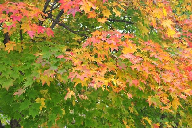Осенние листья кленовые листья в начале зимы измените цвет на красивый красный