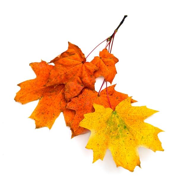 Autumn leaves maple on white