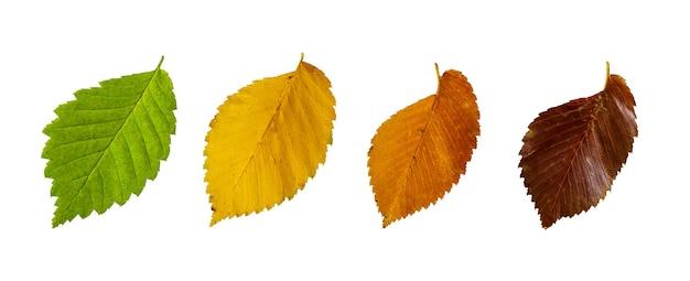 Осенние листья вяза, изолированные на белом фоне