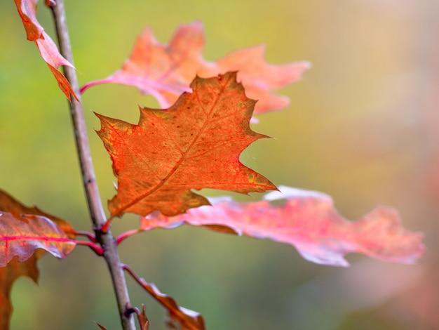 赤いオークの紅葉がぼやけた背景にクローズアップ_