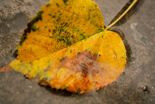 草の上に紅葉。紅葉。紅葉に水滴。緑の芝生のフィールドに紅葉、上からの眺め