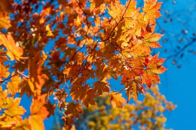 가을 하늘 배경에 단풍 가을 시즌