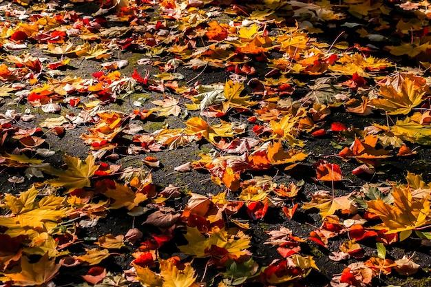地面に紅葉。秋の背景の概念。カエデ、赤、黄色の葉、9月、10月、11月。
