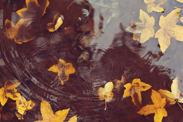 Autumn leaves in puddle. autumn rainy weather. autumn background. yellow leaves floating in a puddle. it's raining.