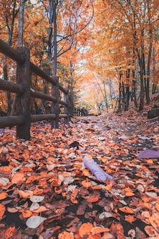 Autumn leaves on trail in the forest at jozankei