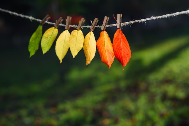 The autumn leaves transition from green to red on wooden clothespins and lace.